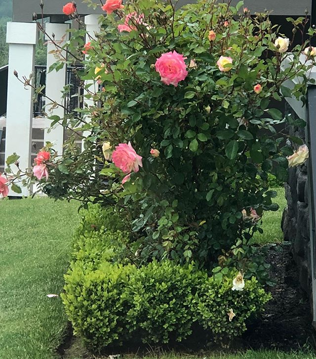 Heading off and just noticed my beautiful apricot colored roses have bloomed in our front yard. Stunners!!